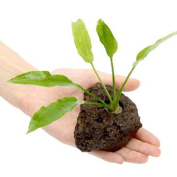 (水草)置くだけ簡単 Sサイズ アマゾンソード 穴あき溶岩石付(無農薬)(1個)