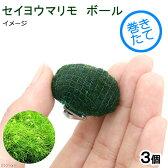 (水草)巻きたて セイヨウマリモボール(無農薬)(3個)