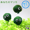 (水草)あなたのマリモ(無農薬)〜水辺工房〜(1個) 北海道航空便要保温