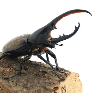 ヘラクレスエクアトリアヌス エクアドル ヘラクレスオオカブトムシ