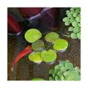 (ビオトープ/水辺植物)ドワーフフロッグビット(無農薬)(10株)