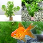 (金魚 水草)ライフマルチ(茶) メダカ・金魚藻セット+よりなし琉金 素赤〜更紗(1匹)