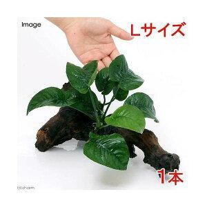 残留農薬処理済!激しいデコボコがたまらない!(水草)アヌビアス バルテリー バタフライ ...