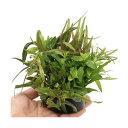 (水草)ハニカムシェルター 寄せ植えミックス Ver.ハイグロフィラ(水上葉)(無農薬)(1個) 北海道航空便要保温