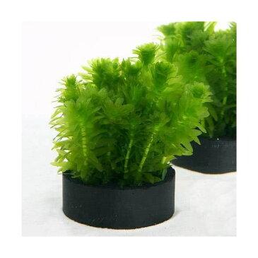 (水草)メダカ・金魚藻 国産 ハニカムシェルターブラック アナカリス ミニ(1個)