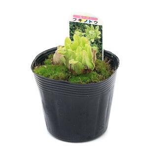 365日毎日発送 ペットジャンル1位の専門店(観葉)山菜 フキノトウ(蕗の薹) 4号(3ポット)