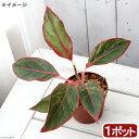 (観葉植物)アグラオネマ サイアムオーロラ 3.5〜4号(1鉢) 北海道冬季発送不可