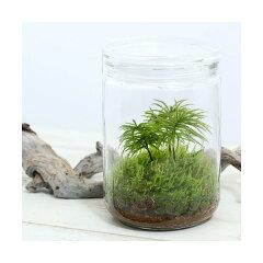 (観葉)苔Terrarium コウヤノマンネングサ ガラスボトルL 説明書付 テラリウムキット