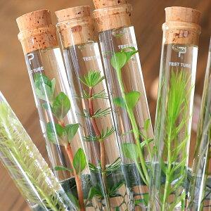 インテリア・雑貨>グリーン>水辺植物(水草)シリンダーウォータープランツ 単品(1本)