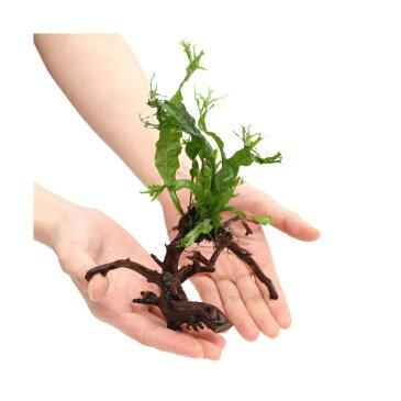 (水草)ミクロソリウム ウェンディロフ ブランチアーチ流木付(約15cm〜)(1本)