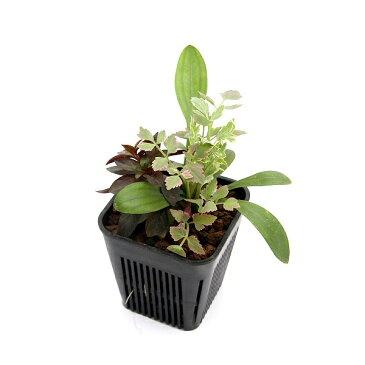 (ビオトープ)水辺植物 メダカが喜ぶ水辺植物!産卵・隠れ家用寄せ植え 3号(1ポット)水質浄化