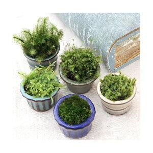 (Bonsai) Moss Bonsai Omakase Moss Bean plant (3 pots)