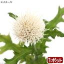 (山野草)白花ノアザミ(白花野薊) 3号(1ポット)