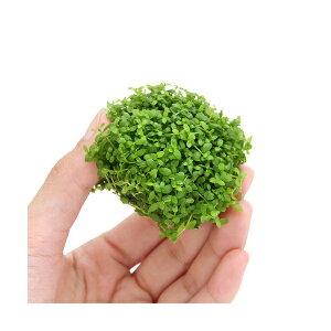 (水草)育成済 ニューラージパールグラス ボール(水中葉)(無農薬)(3個) 北海道航空便要保…