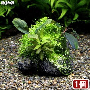 (水草)巻きたて 草たちの水景 溶岩石 Ver.ブセファランドラ(1個)