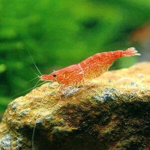 水草に映える赤いエビ!(エビ・貝)お一人様1点限り チェリーレッドシュリンプ(18匹)