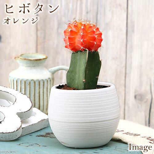 (観葉植物)サボテン ヒボタン(緋牡丹) オレンジ系 2.5号(1ポット)