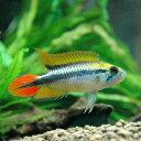 (熱帯魚)アピストグラマ・アガシジィ ダブルレッド(1ペア)