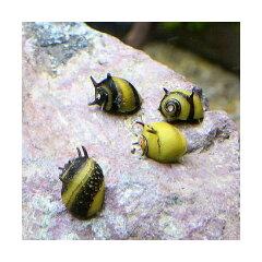 ▼カラーサザエ石巻貝(3匹)