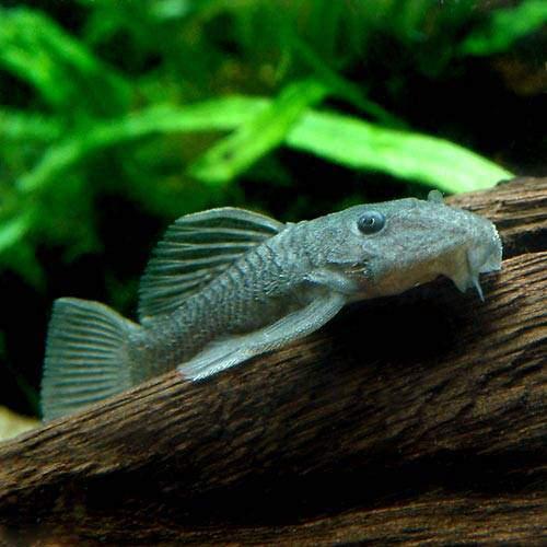 (熱帯魚)ダルマ・プレコ(1匹)