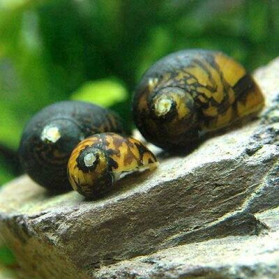 水槽や石の表面のコケを食べる!(エビ・貝)ムラクモカノコ貝(2匹) 北海道・九州・沖縄航空...