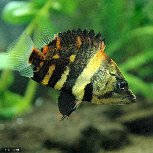 熱帯魚おすすめ