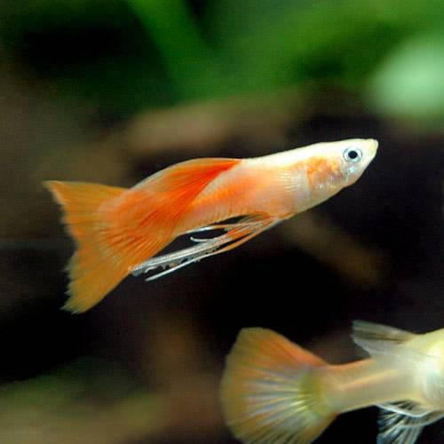 (熱帯魚)ゴールデンジャーマンフルレッドリボン・グッピー(国産グッピー)(1トリオ)