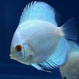 安心のペナンブリード!(熱帯魚)ブルーダイヤモンド・ディスカス(Sサイズ)(1匹) 北海道...