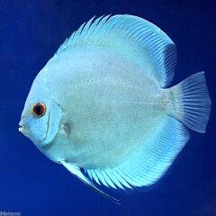 熱帯魚・エビ他>エンゼル・ディスカス>ディスカス(熱帯魚)ブルーダイヤモンド・ディスカス...
