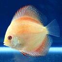 (熱帯魚)レッドメロン・ディスカス(Sサイズ)(1匹) 北海道・九州・沖縄航空便要保温