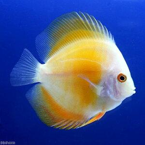 安心のペナンブリード!(熱帯魚)イエローダイヤモンド・ディスカス(Sサイズ)(1匹) 北海...