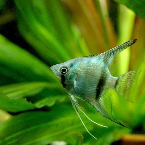 (熱帯魚)エンゼルフィッシュ ブルー(国産ブリード)(3匹) 北海道航空便要保温