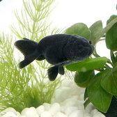(金魚)黒らんちゅう(クロランチュウ)(タイ産)(1匹)