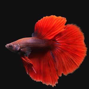 365日毎日発送 ペットジャンル1位の専門店(熱帯魚)ベタ・スーパーデルタテール 色指定なし...