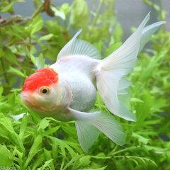 (金魚)丹頂 弥富産 3歳(1匹)