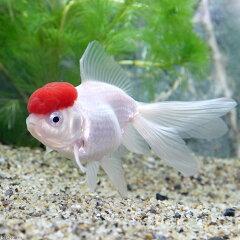(国産金魚)飯田産 高頭丹頂 3歳(1匹)