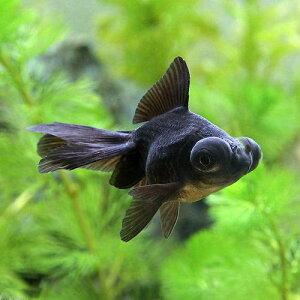【まとめ割】(国産金魚)出目金(デメキン)黒(3匹)