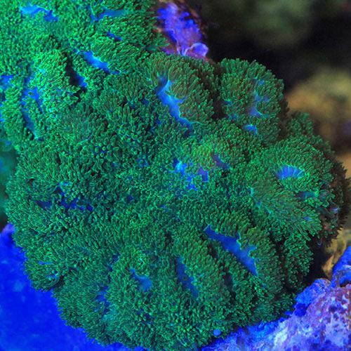(海水魚 サンゴ)沖縄産 ディスクコーラル ディープグリーン Sサイズ(1個)