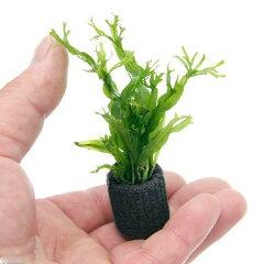 残留農薬処理済!(水草)マルチリング・ブラック ミクロソリウム ウェンディロフ(1個)