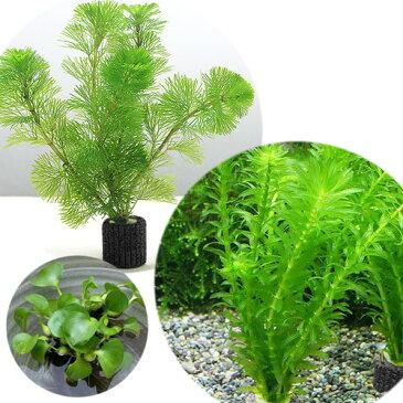 (水草)マルチリングブラック(黒) メダカ・金魚藻セット(1セット)+ホテイ草(1株)