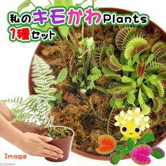 虫を捕食する脅威の植物!一風変わったインテリアにも!(食虫植物)私のキモかわPlants 1種セ...