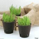 (観葉植物)長さで選べる ペットグラス 直径8cmECOポット植え(短め)(無農薬)(1ポット) 猫草 北海道冬季発送不可 2
