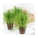 (観葉植物)長さで選べる ペットグラス 直径8cmECOポット植え(長め)(無農薬)(5ポット) 猫草