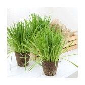 (観葉)長さで選べる ペットグラス 直径8cmECOポット植え(長め)(無農薬)(5ポット) 猫草
