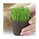 (観葉植物)長さで選べる イタリアンライグラス 直径8cmECOポット植え(短め)(無農薬)(3ポット) その1