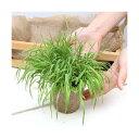(観葉植物)長さで選べる スーダングラス 直径8cmECOポット植え(長め)(無農薬)(5ポット) その1