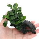 (水草)アヌビアスナナプチ付 流木シェルター(約8cm)(1本) 北海道航空便要保溫