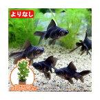 (国産金魚 水草)よりなし(無選別) 黒出目金(クロデメキン)(3匹)+ライフマルチ(茶) おまかせロタラ(1個)