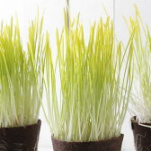 (観葉)不思議な食感 やみつきペットグラス 直径8cmECOポット植え(無農薬)(1ポット) 猫草