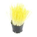 (観葉植物)不思議な食感 やみつきペットグラス 直径8cmECOポット植え(無農薬)(3ポット) 猫草 その1